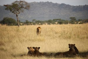 Lions on the savanna