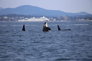 Orcas in bay